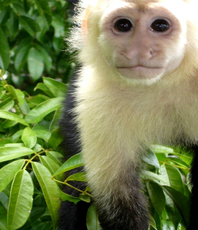 Rainforest New World Monkey from Central America featured at ...
